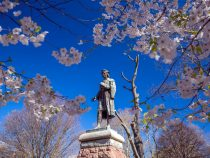 Cherry blossom at Wooster Square in New Haven