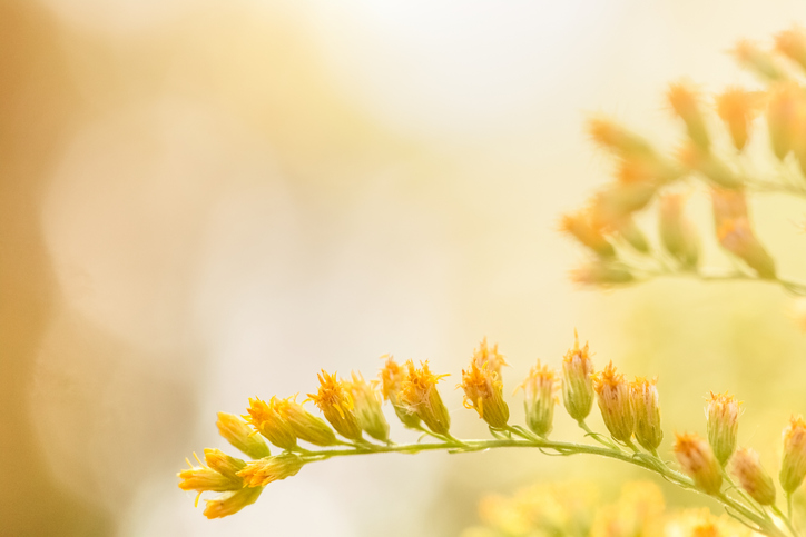 Beauty in nature. Pretty and dreamy goldenrod flowers blooming in summer sunshine. Photograph taken from close up showing detail on foreground the yellow blooms and creamy white and golden bokeh in background. No people in this photo with horizontal composition and copy space.