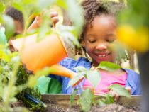 African descent children gardening in outdoor vegetable garden in spring or summer season.  Cute little girl enjoys planting new flowers and vegetable plants.